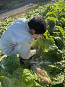 R70の取材(白菜の収穫中)