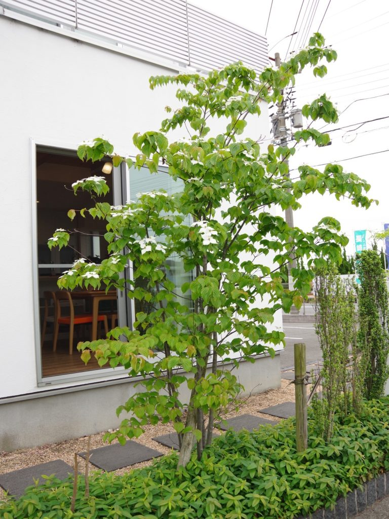 展示場のヤマボウシ